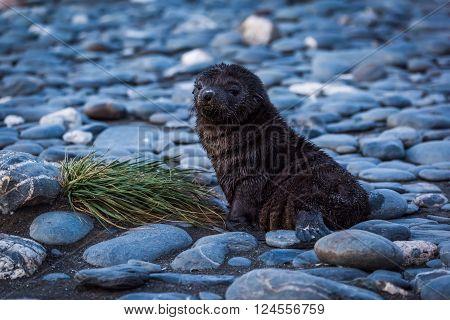 Antarctic fur seal lying on shingle beach
