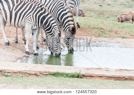 Two Burchells zebras, Equus quagga burchellii, drinking at a waterhole