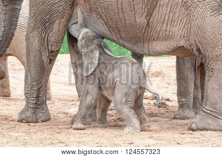 A tiny African elephant calf, Loxodonta africana, suckling on its mother