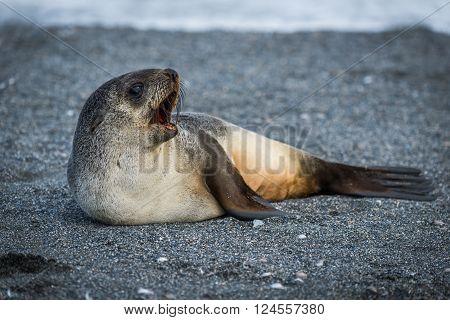 Antarctic fur seal lying yawning on beach