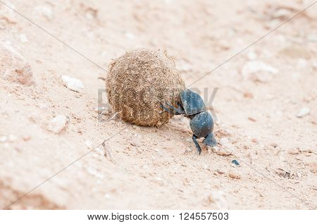 A female flightless dung beetle Circellium bacchus rolling a dung ball with its hind legs