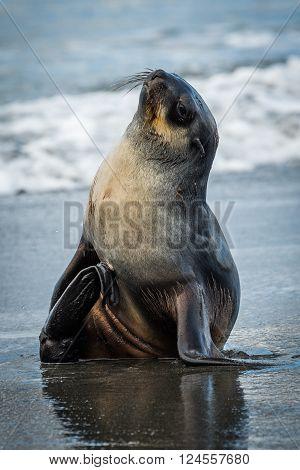 Antarctic fur seal on wet sandy beach