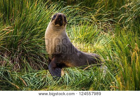 Antarctic fur seal posing in tussock grass