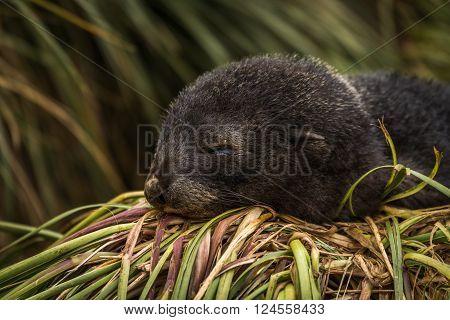 Antarctic fur seal pup asleep on grass