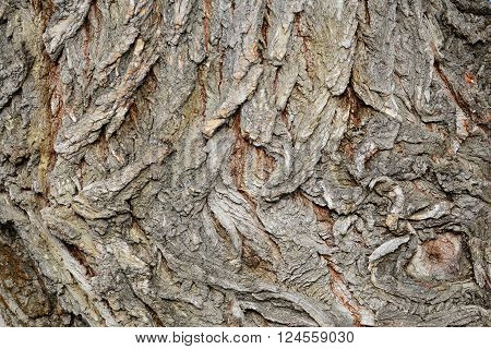 Tree bark texture white willow (Salix alba) bark texture