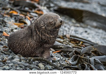 Antarctic fur seal pup with eyes shut