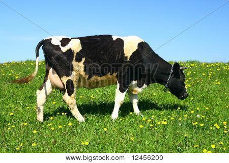 cow on green dandelion field