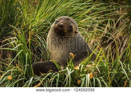 Antarctic fur seal sitting in grass tussocks