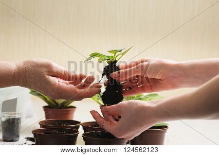 Picture of the old woman's hand and hand of a young girl holding young plant that grows in a lump of soil. Planting houseplant indoors. Several brown flowerpot. Earth Day.