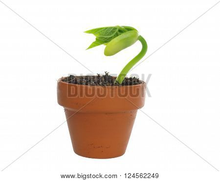 germinating green bean  on a white background