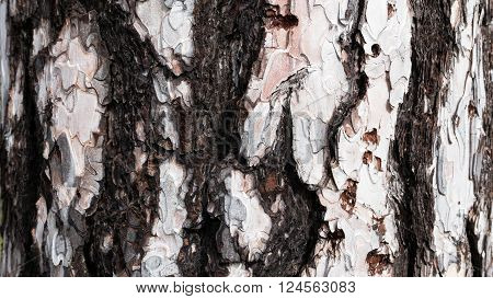 Closeup of Bark of white Pine Tree.