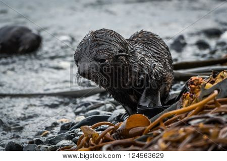 Bedraggled Antarctic fur seal pup on beach