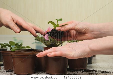 Old woman's hand and hand of a young girl. Old woman giving a young girl plant that grows in a lump of soil. Planting houseplant indoors. Blooming violet. Several brown flowerpot. Earth Day.