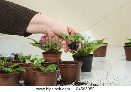Woman plants a houseplant. Picture of the old woman's hand planting houseplant indoors. Several brown flower pot with soil heap of soil on a light wooden background. Blooming violet. Earth Day.