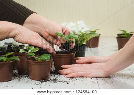 Mother and daughter planting houseplant. Old woman's hand and hand of a young girl. Old woman planting houseplant indoors. Several brown flowerpot. Blooming violet. Earth Day.