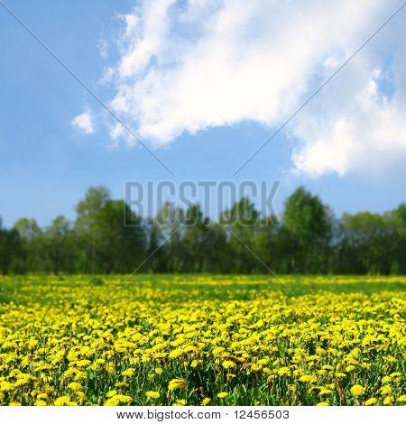 yellow dandelion green field
