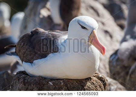 Black-browed albatross sitting on nest in colony