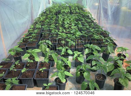 Fresh sprouts of peppers from seedling