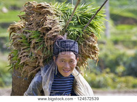 LAO CAI, VIETNAM, July 14, 2015 Hmong women. highland Lao Cai, tender rice piggyback on his back