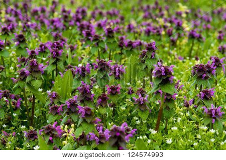 A lot of beautiful field mauve wildflower in grass ** Note: Shallow depth of field