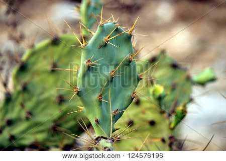 prickly pear plant on top of hill