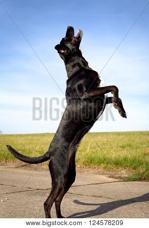 Energetic black dog on hind legs with mouth agape, reaching for ball, outdoors with blue sky