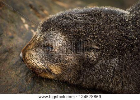 Close-up of sleeping Antarctic fur seal pup