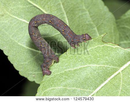 Caterpillar spanworm aka geometridae moves on apple leaves