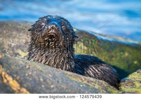 Cute Antarctic fur seal pup behind rock