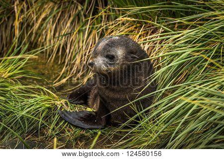 Cute Antarctic fur seal pup in grass