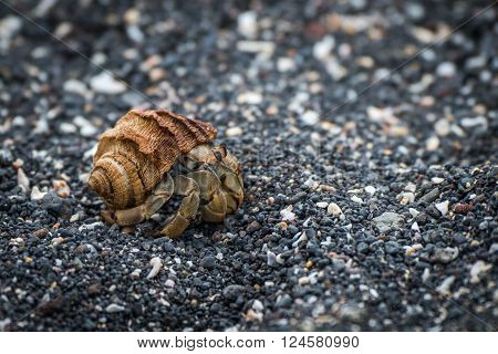 Semi-terrestrial hermit crab walking along shingle beach