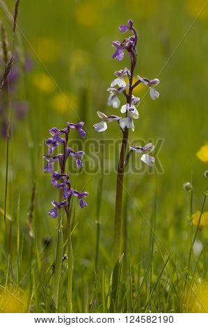 Green-winged Orchid - Anacamptis morio Flower in meadow ** Note: Shallow depth of field