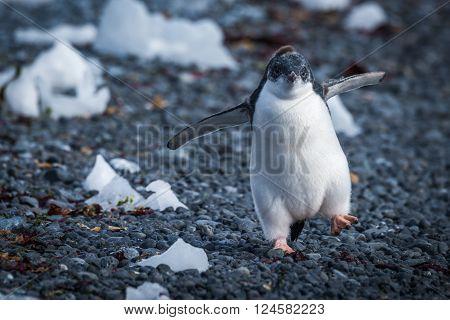 Funny adelie penguin chick running on stones