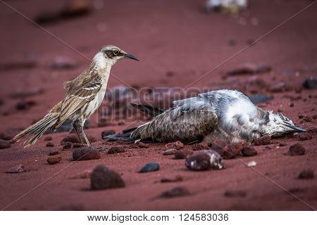 Galapagos mockingbird watching dead bird on beach