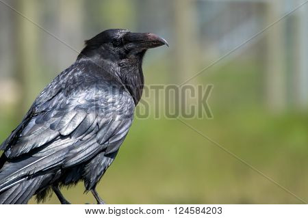 Raven bird standing and looking into distance