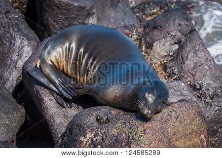 Galapagos sea lion asleep on volcanic rocks