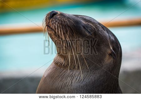 Galapagos sea lion close-up with eyes closed