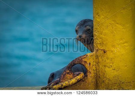 Galapagos sea lion peeping out behind post