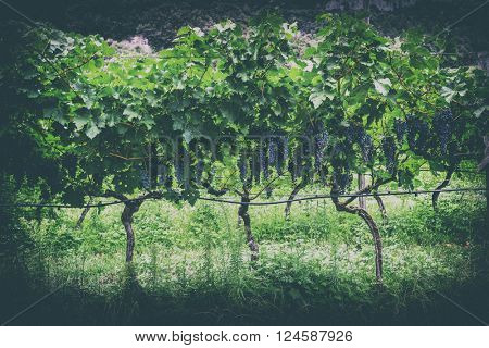 Grapes, vineyard in Tuscany, Italy