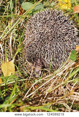 Hedgehog runs away and hides in the grass