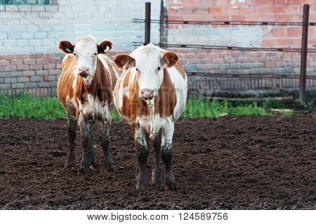 Cows standing in the mud on a cattle farm.