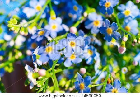 beautiful fresh blue forget-me-not flower close view
