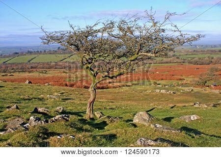 windswept tree on Dartmoor in the winter