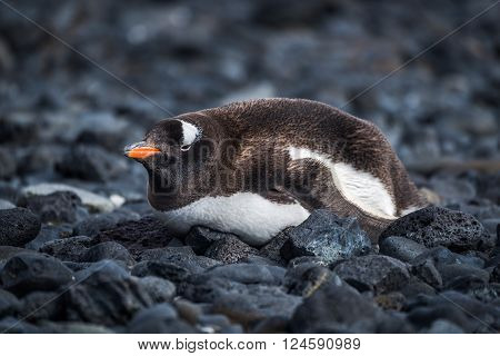 Gentoo penguin lying on black rocky beach