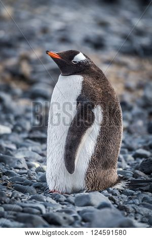 Gentoo penguin standing on grey shingle beach