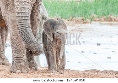 A tiny African elephant calf, Loxodonta africana, next to its mothers trunk