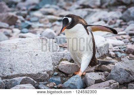 Gentoo penguin waddling over rocks on beach