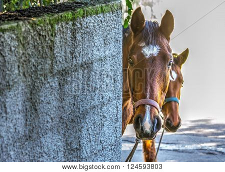 curious horse peeking behind a rustic wall