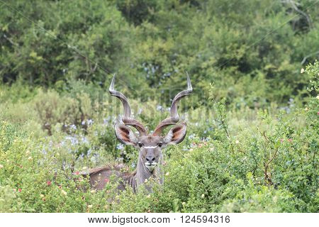 A large greater kudu bull Tragelaphus strepsiceros hiding between shrubs