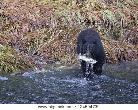 American black bear, wading through water and catching a salmon. Autumn in Valdez, Alaska.